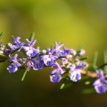 Therapy with Rosemary: Prevent Hair Loss and Accelerate the Growth of New Hair