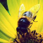 Monsanto Loses GMO Permit In Mexico  Judge Sides With The Bees