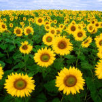 """Sunflower seed the """"super food"""" that has everything you need"""