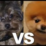Teacup Yorkie vs Pomeranian, cuter than Boo The world's cutest pocket dog wearing a dog corset